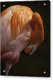 Acrylic Print featuring the photograph Flamingo Preening by Rob Wilson