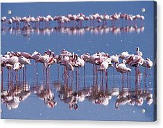 Flamingo Reflection - Lake Nakuru Acrylic Print by Sandra Bronstein