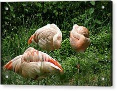 Flamingo's At Rest Acrylic Print by ShadowWalker RavenEyes Dibler