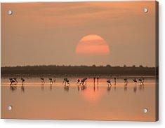 Flamingos At Sunrise Acrylic Print by Joan Gil Raga