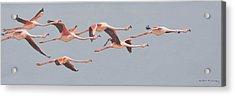 Flamingos In Flight Acrylic Print