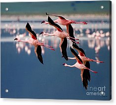 Flamingos In Flight-signed Acrylic Print