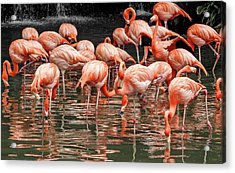 Flamingo Looking For Food Acrylic Print