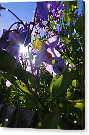 Flare For Flowers Acrylic Print by Nik Watt