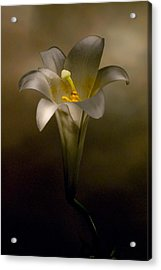 Flashlight Series Easter Lily 7 Acrylic Print