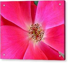 Flat Rose Hot Acrylic Print by Florene Welebny