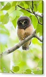Fledgling Saw-whet Owl Acrylic Print by Tim Grams