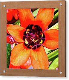 Fleur D'oranger Acrylic Print by Shirley Anderson