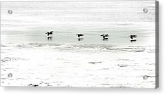 Flight - Sea Of Cortez Acrylic Print by Clyde Replogle