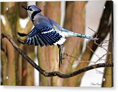Flight Of The Blue Jay Acrylic Print