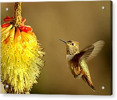 Flight Of The Hummer Acrylic Print by Mike  Dawson