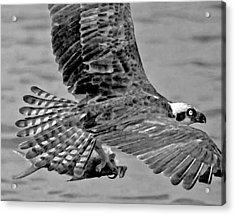 Flight Of The Osprey Bw Acrylic Print