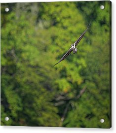 Flight Of The Osprey Square Acrylic Print