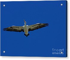 Flight Of The Pelican Acrylic Print by Blair Stuart