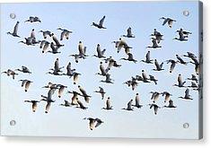 Flight Of The White Ibis Acrylic Print by David Lee Thompson