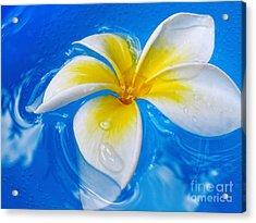 Floating Frangipani - Plumeria Alba Acrylic Print by Kaye Menner