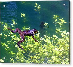 Floating Frog Acrylic Print by Nick Gustafson