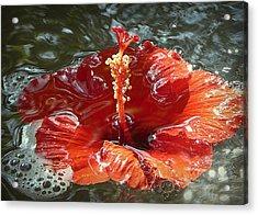 Floating Hibiscus Acrylic Print by Lori Seaman