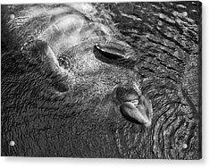 Floating Manatee Acrylic Print