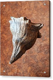 Floating Shell Acrylic Print by Christopher Holmes