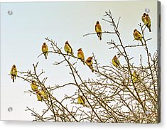 Flock Of Cedar Waxwings  Acrylic Print by Geraldine Scull