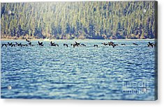 Flock Of Geese Acrylic Print