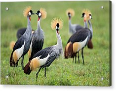 Flock Of Grey Crowned Cranes Balearica Acrylic Print