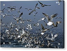 Flock Of Seagulls In The Sea And In Flight Acrylic Print by Sami Sarkis