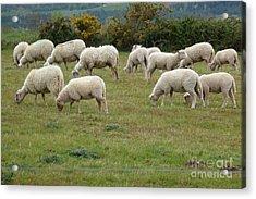 Flock Of Sheeps Acrylic Print by Jean Bernard Roussilhe