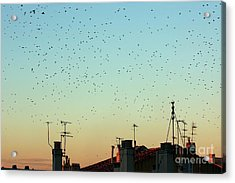 Flock Of Swallows Flying Over Rooftops At Sunset During Fall Acrylic Print by Sami Sarkis