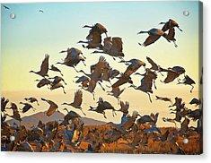 Liftoff, Sandhill Cranes Acrylic Print