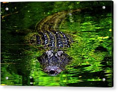 Florida Alligator Encounter Acrylic Print