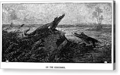 Florida Alligators, 1886 Acrylic Print by Granger