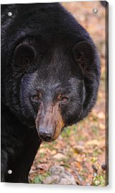 Florida Black Bear Acrylic Print