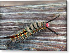 Florida Caterpillar Acrylic Print by Hanny Heim