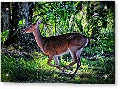 Florida Deer Acrylic Print