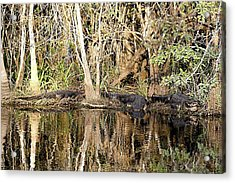 Acrylic Print featuring the photograph Florida Gators - Everglades Swamp by Jerry Battle