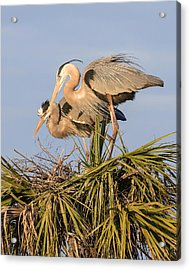 Florida Great Blue Herons Nesting Four Acrylic Print by Bill Swindaman