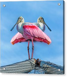 Florida Keys Roseate Spoonbill Acrylic Print