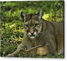 Florida Panther Agitated Acrylic Print by Keith Lovejoy