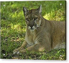 Florida Panther Acrylic Print by Keith Lovejoy
