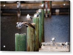 Florida Seagull Playing Acrylic Print