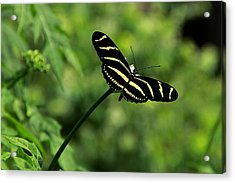 Florida State Butterfly Acrylic Print by Greg Allore