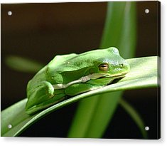 Florida Tree Frog Acrylic Print by Ned Stacey
