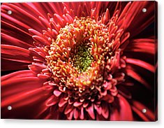 Acrylic Print featuring the photograph Flower Burst by Sheryl Thomas