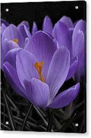 Acrylic Print featuring the photograph Flower Crocus by Nancy Griswold
