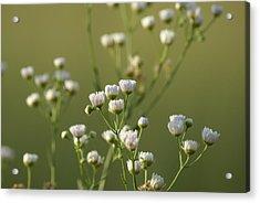 Flower Drops Acrylic Print