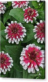 Flower Festival Acrylic Print by Diane E Berry