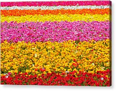 Flower Fields Carlsbad Ca Giant Ranunculus Acrylic Print by Christine Till