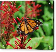 Flower Fly Acrylic Print by Amanda Vouglas